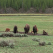 Baby Buffalos in Yellowstone National Park — Stock Video