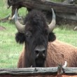 Buffalo cleaning face with tongue in Yellowstone National Park — Stock Video