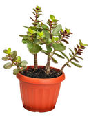 Houseplant crassula or monetary tree — Stock Photo