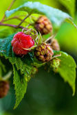 Forest raspberry — Stock Photo