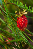 Ripe forest wild strawberry — Stock Photo