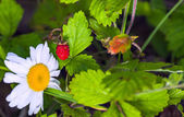 Ripe berry of forest wild strawberry — Stock Photo