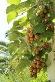 Kiwi fruit on the tree — Stock Photo