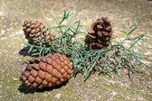Three cones on the rock — Stock Photo