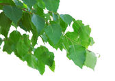 Birch leaves — Stock Photo
