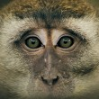 Monkey Eyes — Stock Photo #27751881