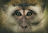 Monkey Eyes — Stock Photo