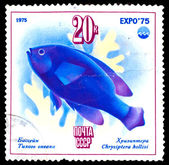 USSR - CIRCA 1975: A Stamp printed by USSR, shows Chrysiptera wi — Stock Photo