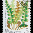 USSR - CIRCA 1987: A stamp from tUSSR, shows image mandrake (Cet — Stock Photo