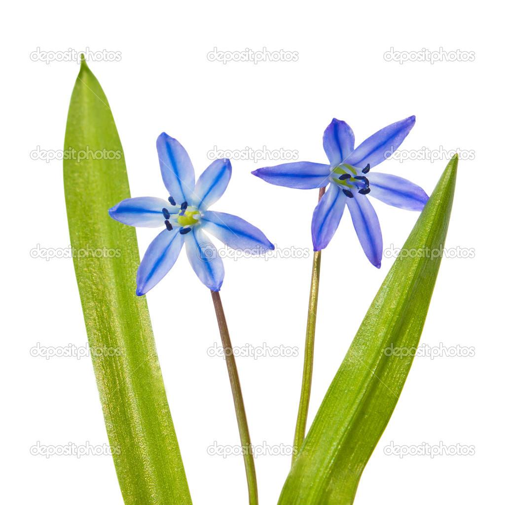 fr hling blumen bluebells scilla bifolia blau wald blume isola stockfoto 16264331. Black Bedroom Furniture Sets. Home Design Ideas