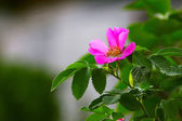 Leaves of wild rose pink summer flower green background wallpape — Stock Photo