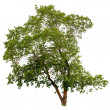 Tree isolated white green background nature environment summer b — Stock Photo