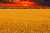 Field sunset sky yellow landscape agriculture grass nature plant — Stock Photo
