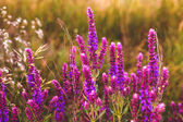 Sage salvia flower garden plant nature purple green summer beaut — Stock Photo