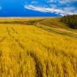 Stock Photo: Wheat field sky landscape summer nature sunset tree sun farm agr