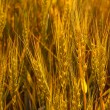 Stock Photo: Wheat grasshopper field corn farm summer crop sun seed rural nat