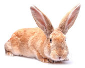 Red bunny rabbit isolated on white background sits Easter holida — Stock Photo