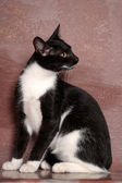 黑色和白色的猫 — 图库照片