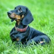 Smooth-DACHSHUND — Stock Photo #12617864