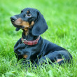 Smooth-DACHSHUND — Stock Photo