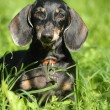 Smooth-DACHSHUND — Stock Photo #12618867