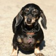 Smooth-DACHSHUND - Stock Photo