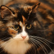 Stock Photo: Tortoiseshell cat sits