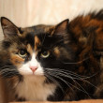Tortoiseshell cat sits — Stock Photo