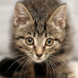 Stock Photo: Cute tabby kitten