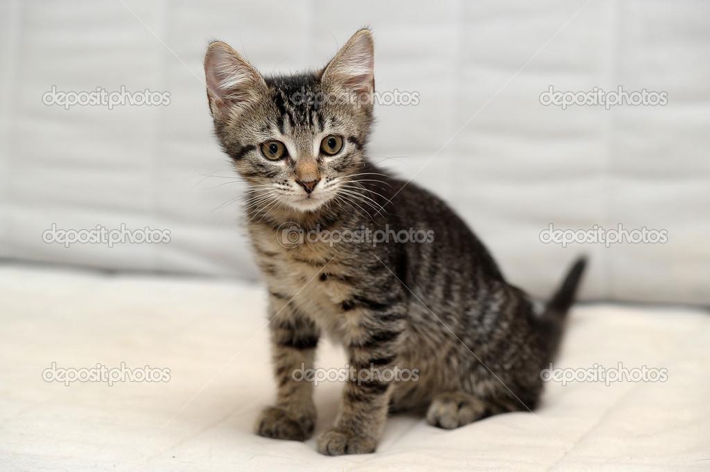 可爱的虎斑猫咪– 图库图片