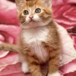 Ginger kitten — Stock Photo