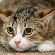 Stock Photo: CLOSE-UP OF EUROPEAN SHORTHAIR CAT