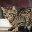 Tabby Cat - Stock Photo