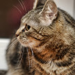 Tabby Cat — Stock fotografie