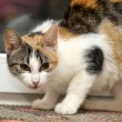 Tricolor cat - Stock Photo