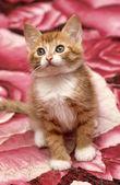 Ginger kitten — Stock Photo