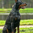 Doberman — Stock Photo #13317003