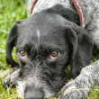 German Wirehaired Pointer — Stock fotografie