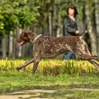 Stock Photo: Deutsch Kurzhaar GermShort-haired Pointing Dog