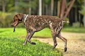 Deutsch kurzhaar alman kısa tüylü işaret eden köpek — Stok fotoğraf