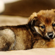 Brown cute puppy — Stock Photo #13347025