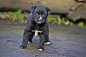 Cute little black puppy — Stock Photo