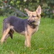 Half-breed shepherd puppy — Stock Photo