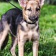 Stock Photo: Half-breed shepherd puppy
