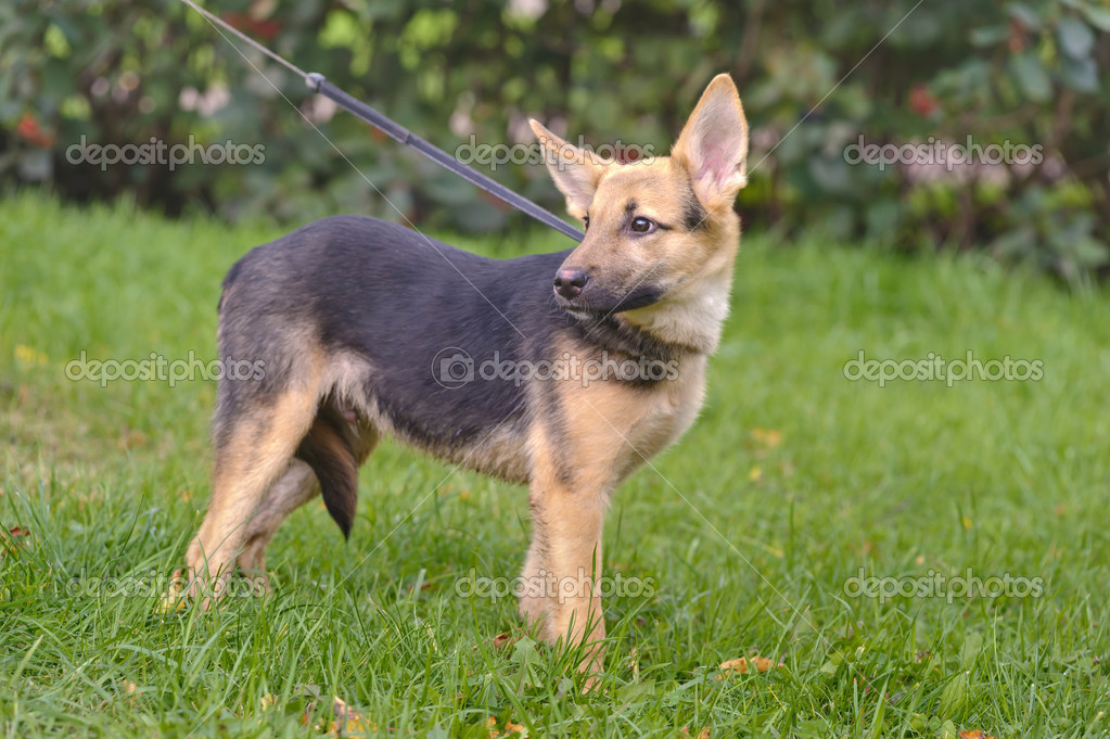 Half-breed shepherd puppy — Stock Photo #13402571