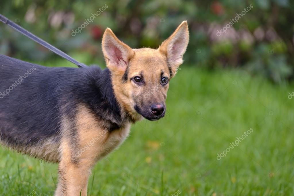 Half-breed shepherd puppy — Stock Photo #13402585
