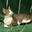 Stock Photo: Tabby with white looking