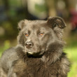 Black mongrel dog — Stok fotoğraf