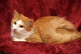 Red with a white cat — Fotografia Stock
