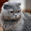 Scottish fold cat grey — Stock Photo
